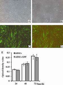 Expression Of Gfp In Human Adscs  Human Adscs Were
