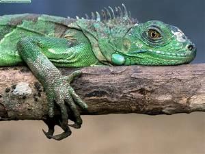 Lizards and iguans photos