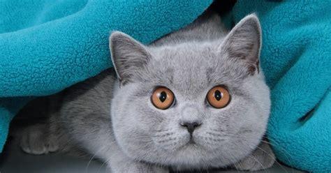 Piemīlīgais 'plīša lācītis' - britu īsspalvainais kaķis ...