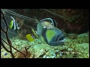 Angry Triggerfish Attack Compilation - Asurekazani