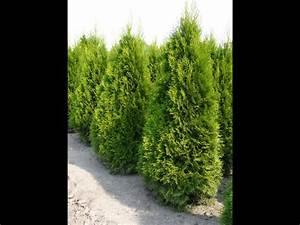 Thuja Smaragd Düngen : thuja occidentalis smaragd thuya du canada smaragd ~ Michelbontemps.com Haus und Dekorationen
