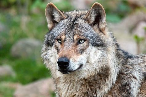 Drucke diese wolf ausmalbilder kostenlos aus. 7 Beste Wolf Ausmalbilder Kostenlos zum Ausdrucken ...