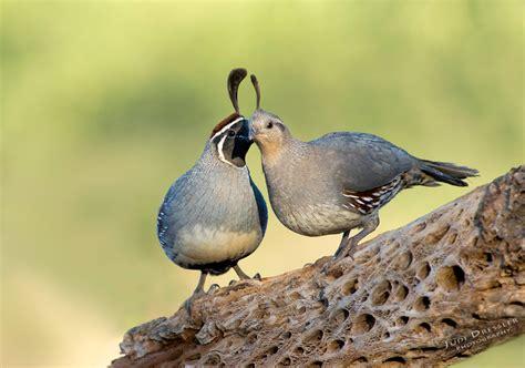 gambels quails  love