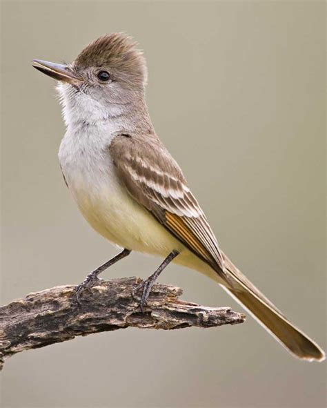 hanging l ash throated flycatcher audubon field guide