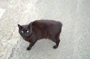 manx cats file manx cat jpg