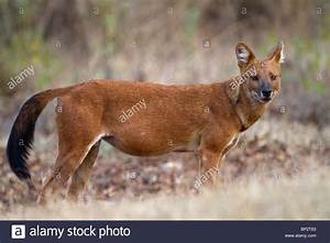 Dhole India Stock Photos & Dhole India Stock Images - Alamy