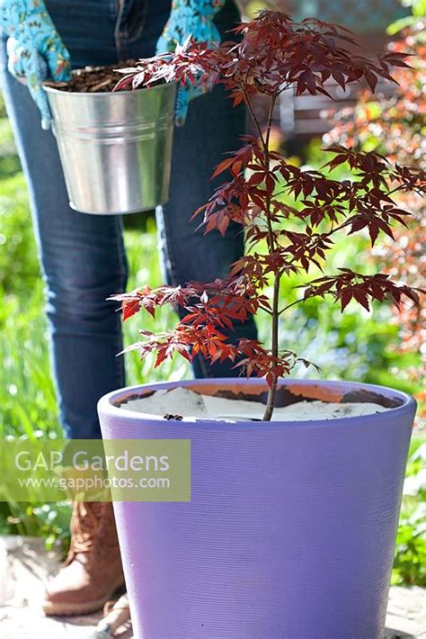 gap gardens planting acer palmatum in pot laying felt