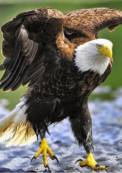 Bald Google Eagles Prey Birds Eagle