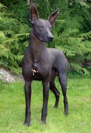 naked truth  hairless dog breeds