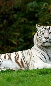 White Tiger | Soha is the male White Tiger of La Flèche ...