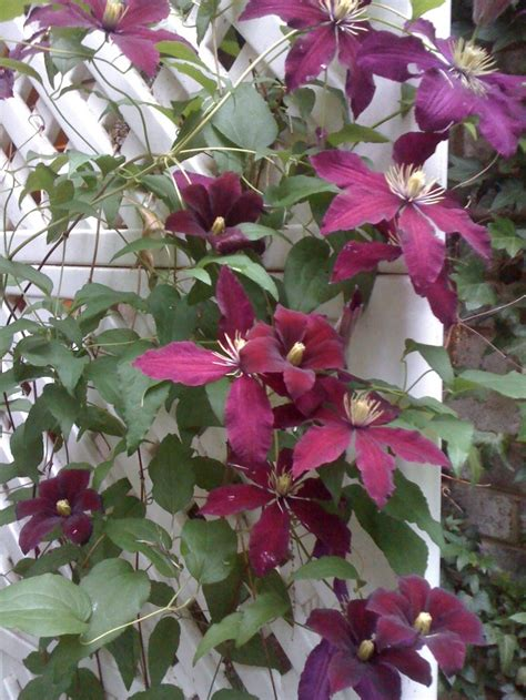 Burgundy Clematis Vine  For The Love Of Flowers
