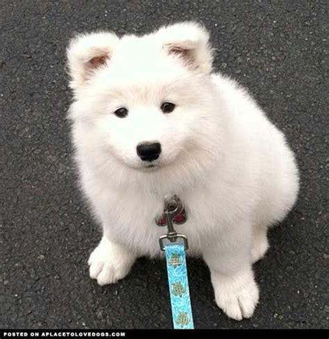 1000 Ideas About Samoyed Puppies On Pinterest Samoyed