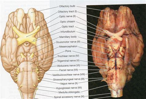 sheep brain anatomy ventral physiological psychology