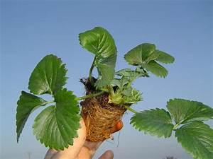 Plant De Fraisier : plant de fraisier mini tray longu jumelles ~ Premium-room.com Idées de Décoration