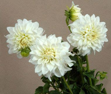 dahlia white 14 99 7 florals for jalexy flowers