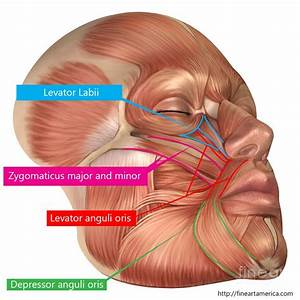 Anatomy Of Facial Muscles Facial Muscles And Tendons Side