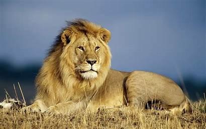 Lions Animals Wallpapers Lion Animal Desktop Wildlife