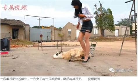 chinese woman killing  goat saudi girl conquers challenge  slaughter  skin sheep saudi