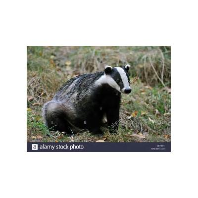 European badger (Meles meles) sitting in meadow England