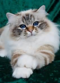 birman cats for felonie birmans birman cats salisbury wiltshire