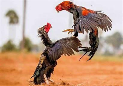 Rooster Roosters Fights Fighting Fight Looking Photographs