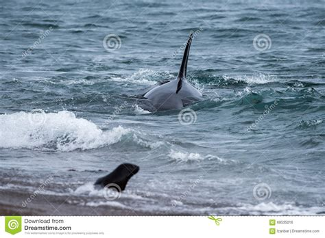 Orca Whale Attacks Fishing Boat In Alaska by Orca Attack A Seal On The Beach Stock Photography