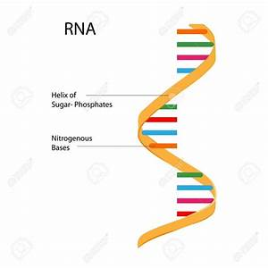 What Is The Full From Of Rna