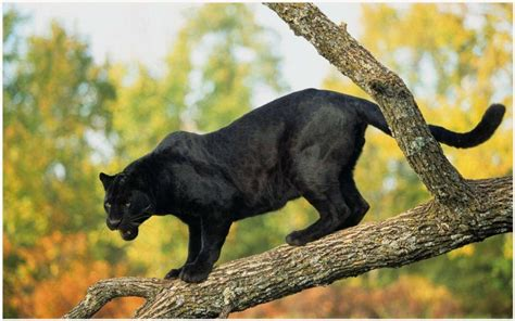 wallpaper jaguar hitam  keren