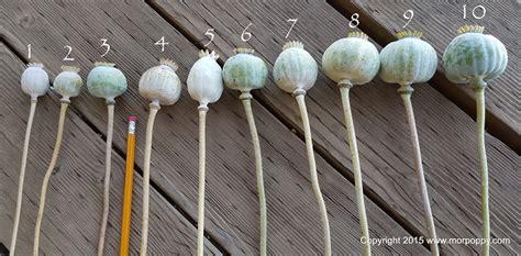 buy poppy pods best place to buy dried poppy pods