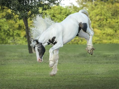 gypsy vanner horse horses vanners bucks kicks play gorgeous colt tale fairy favorite right absolutely stunning