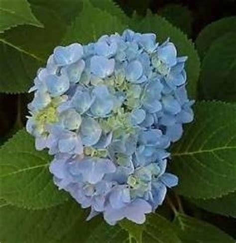 fiori secchi ortensie ortensie con fiori secchi domande e risposte giardino