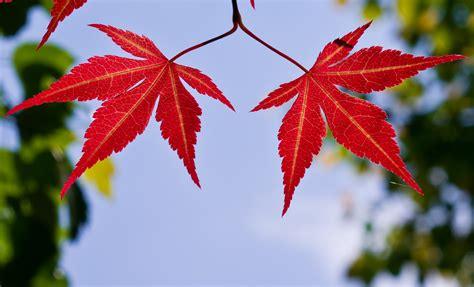 maple leaves japan japanese maple leaves pentax user photo gallery