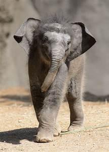 update asian elephant calf debuts at louis zoo