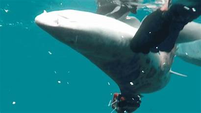 Shark Leopard Sharks Underwater Why Beaches Smarttags