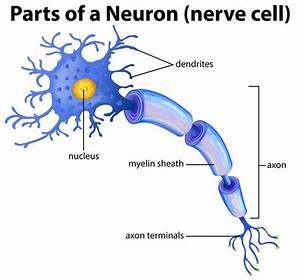 Part Of A Neuron Diagram
