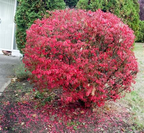 burning bush top 28 burning bush plant photo of the entire plant of burning bush euonymus alatus