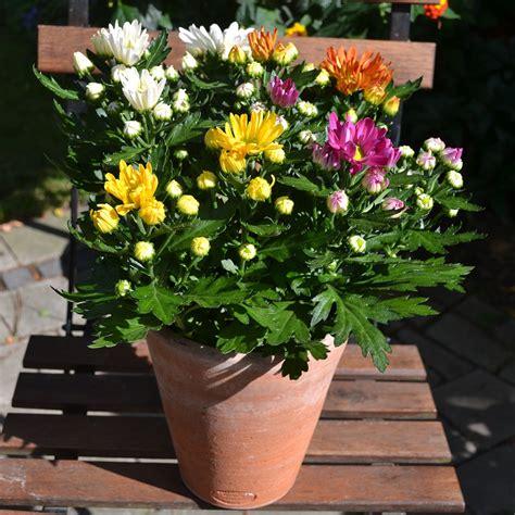 Garten Chrysantheme Kaufen by Chrysantheme Rock N Roll Schale Kaufen Bei G 228 Rtner