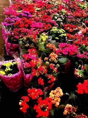 Kalanchoes: Como Cuidar | Flores - Cultura Mix | Árvores ...