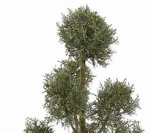 Säulen Pflanzen Winterhart : arizona s ulen zypresse 39 glauca 39 pompon dehner garten center ~ Frokenaadalensverden.com Haus und Dekorationen