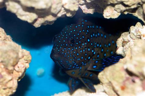 grouper bluespotted cephalopholis argus coral peacock
