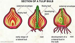 Cross Section Of A Tulip Bulb