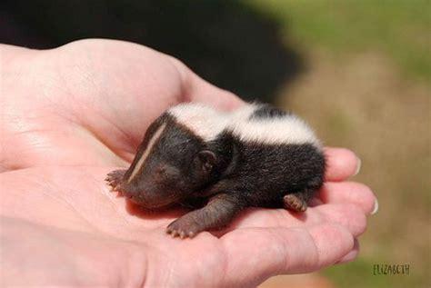 1000+ Ideen Zu Skunks Auf Pinterest  Bären, Ottern Und