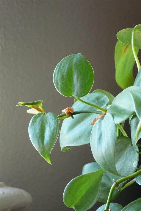 philodendron care learn  growing philodendron plants
