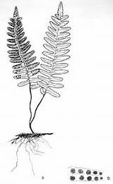 Fern Drawing Coloring Resurrection Licorice Ferns Sketches Sister Pages Roots Artists Sketch Silver Root sketch template