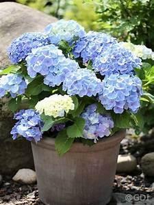 Hortensie Umpflanzen Im Topf : hydrangea macrophylla 39 endless summer 39 blau bauern hortensie 39 endless summer 39 blau g nstig ~ Orissabook.com Haus und Dekorationen