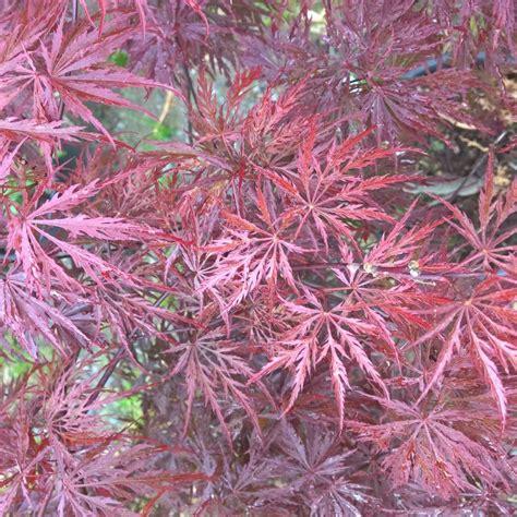 arrosage erable du japon en pot erable du japon crimson plantes et jardins