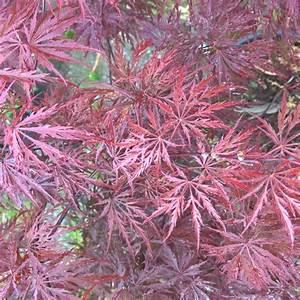 Erable Du Japon Entretien : erable du japon 39 crimson queen 39 plantes et jardins ~ Nature-et-papiers.com Idées de Décoration