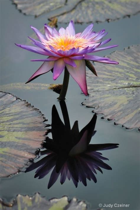 Reflection Water Lily