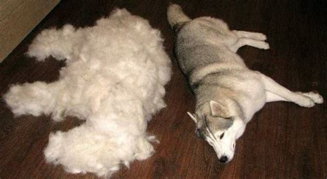 Shed Dogs by Fed Up With Excessive Summer Shedding Try Adding This