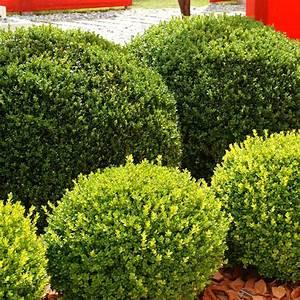 Boule De Buis : buis commun en boule plantes et jardins ~ Melissatoandfro.com Idées de Décoration